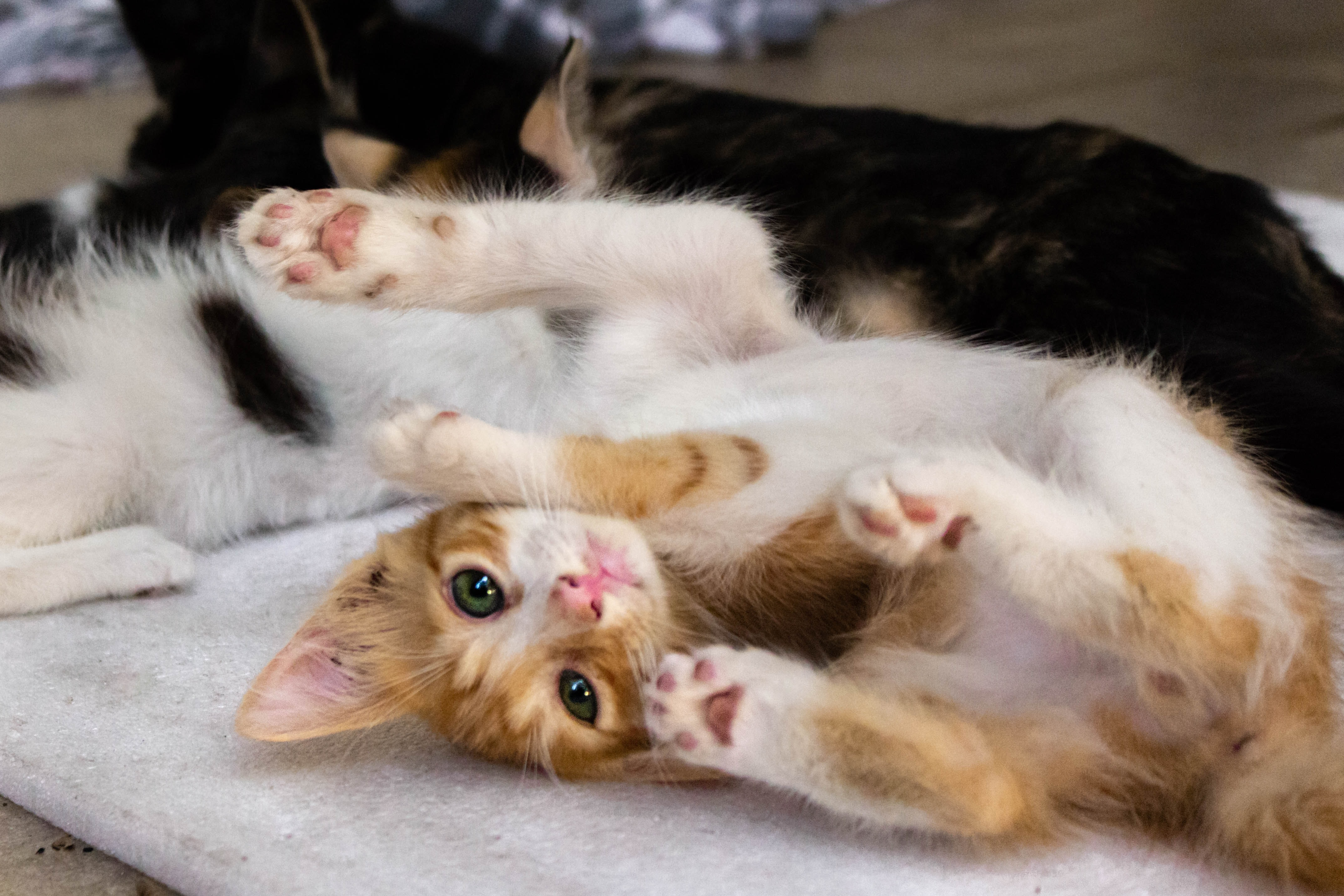 Kitten laying on back